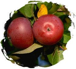 Apples on apple tree branch