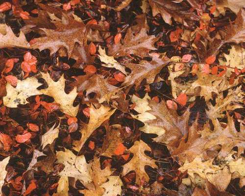 brown oak tree leaves