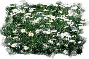 summer: field of daisies