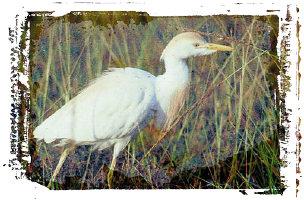 reddish white egret