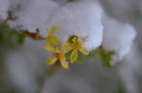 snowy miniature daffodil